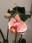 №5. Орхидея из полимерной глины.