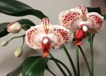 №3. Орхидея из полимерной глины.