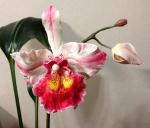 №1 Орхидея из полимерной глины.